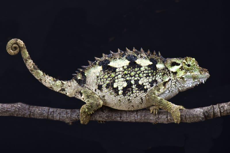 Ακανθωτός-πλαισιωμένος χαμαιλέοντας (laterispinis Trioceros) στοκ φωτογραφία με δικαίωμα ελεύθερης χρήσης