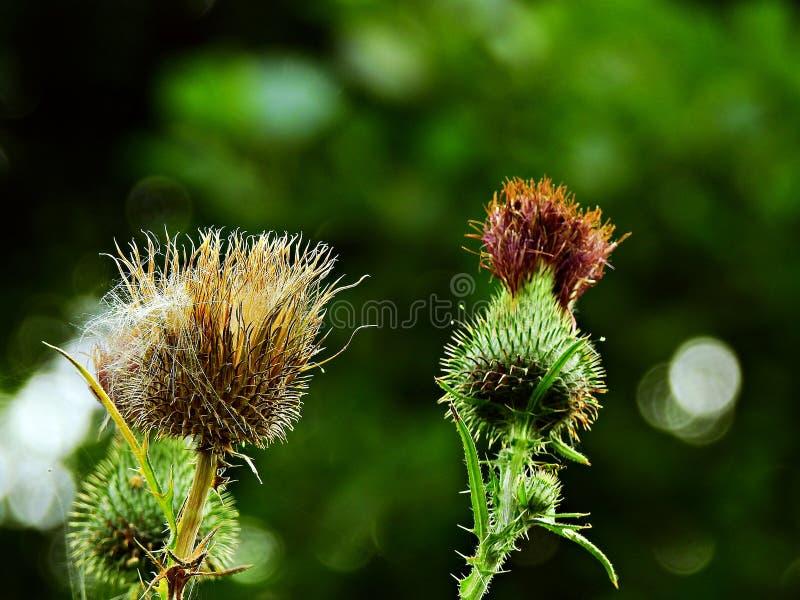 Ακανθώδη λουλούδια κάρδων σε ένα πράσινο υπόβαθρο Πολωνία Δάσος στον τομέα Zawada στοκ φωτογραφία