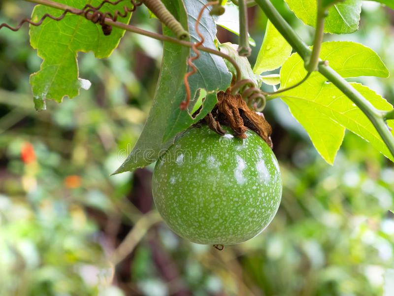 Ακατέργαστο Passiflora edulis ή Passionfruit στοκ εικόνες