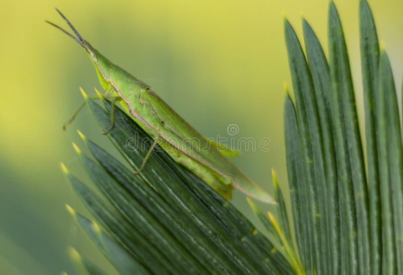 Ακρίδα στα φύλλα, κοιτάζοντας την απόσταση στοκ φωτογραφία με δικαίωμα ελεύθερης χρήσης
