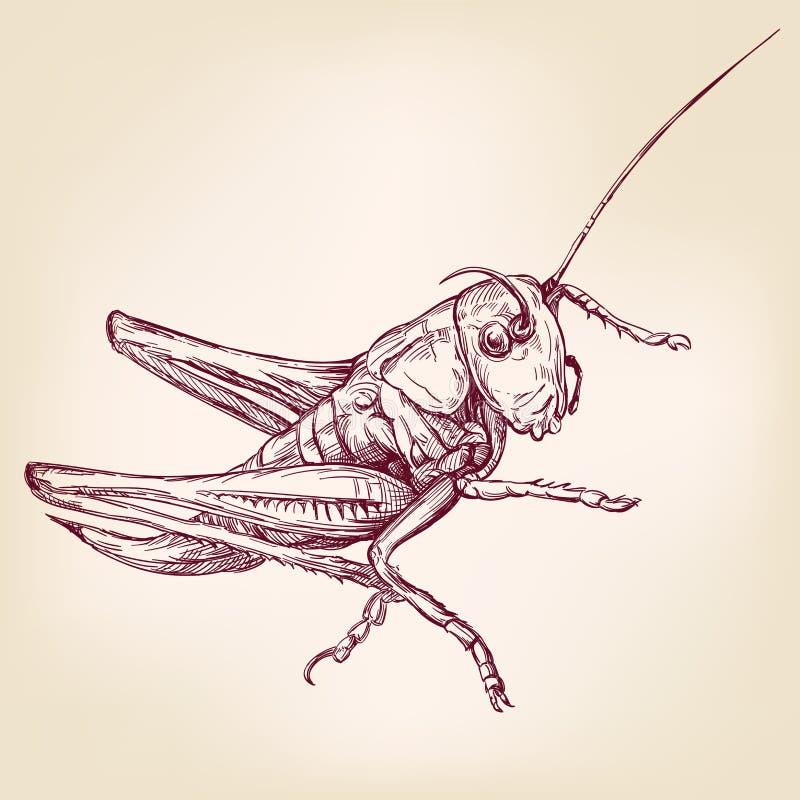 Ακρίδα ή grasshopper - συρμένο διανυσματικό σκίτσο llustration εντόμων χέρι διανυσματική απεικόνιση