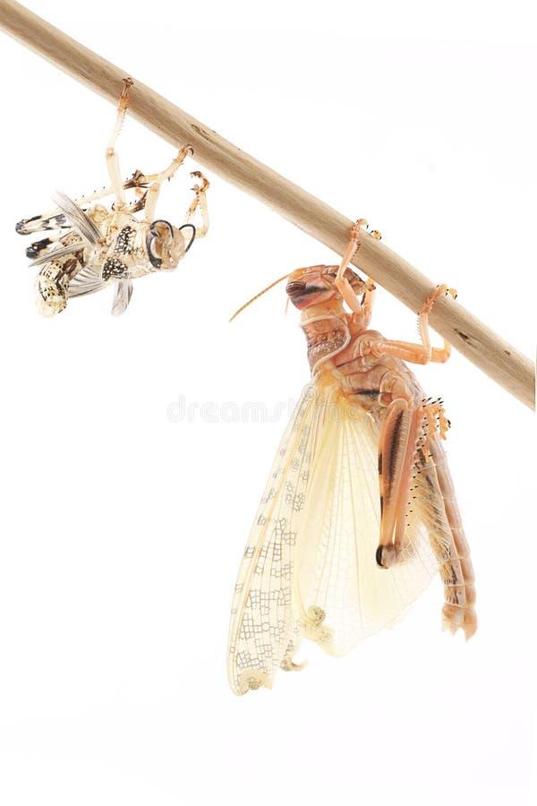 Ακρίδα, gregaria Schistocerca ακρίδων ερήμων, αμέσως μετά από το molt στοκ φωτογραφία με δικαίωμα ελεύθερης χρήσης