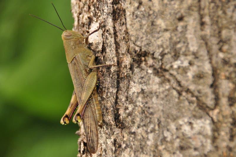 Ακρίδες, συνεδρίαση εντόμων σε ένα δέντρο στη ζούγκλα Ινδονησία, στοκ εικόνες