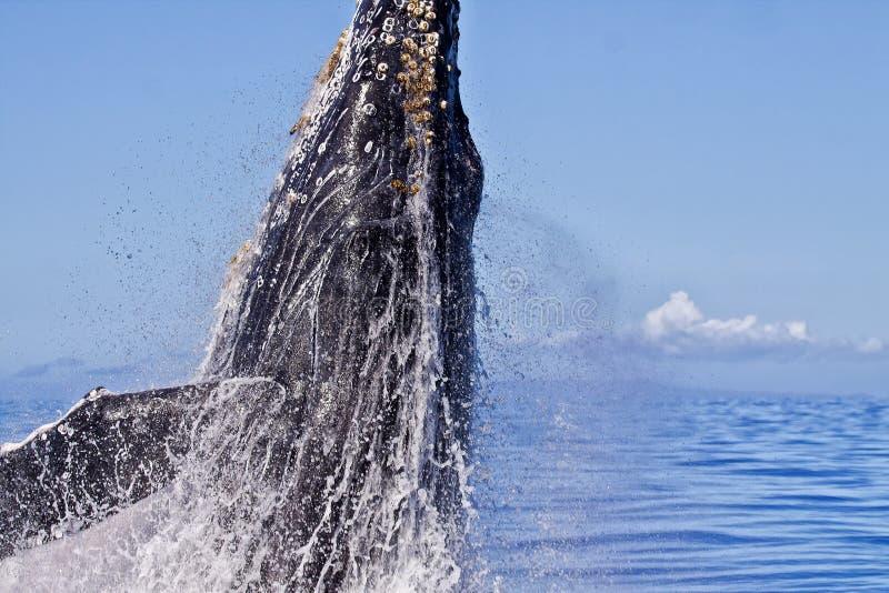 Ακραία κινηματογράφηση σε πρώτο πλάνο μιας φάλαινας Humpback που αρχίζει μια παραβίαση στοκ εικόνα