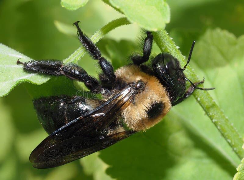 Ακραία κινηματογράφηση σε πρώτο πλάνο μιας μέλισσας Bumble στοκ εικόνα