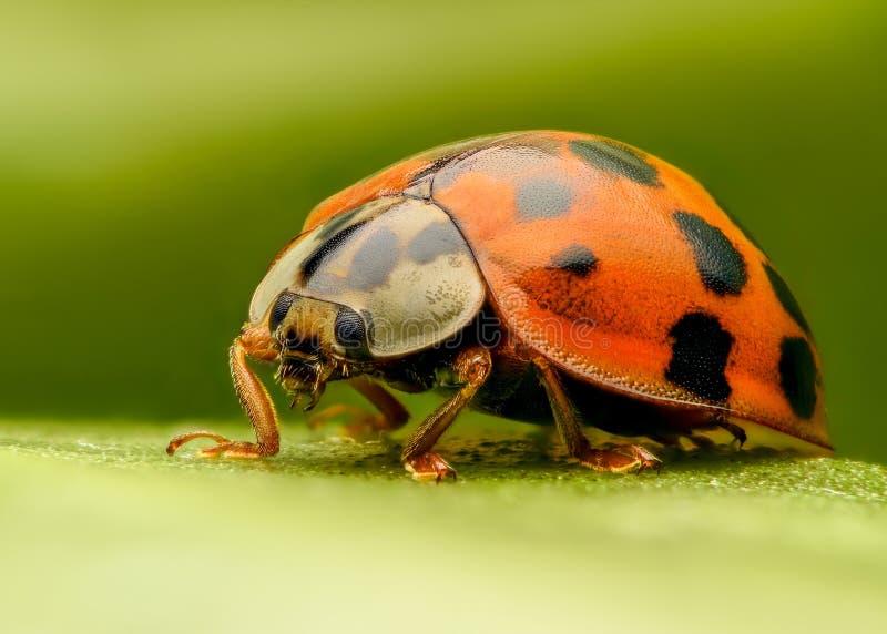 Ακραία κινηματογράφηση σε πρώτο πλάνο Ladybug στοκ εικόνα με δικαίωμα ελεύθερης χρήσης