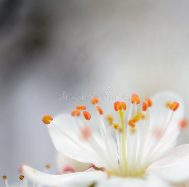 Ακραία μακροεντολή του λουλουδιού δαμάσκηνων στοκ φωτογραφία