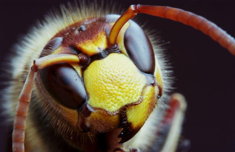 ακραία μακροεντολή hornet στοκ εικόνα