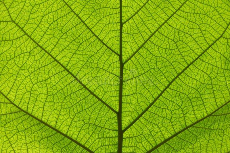 Ακραία στενή επάνω σύσταση των πράσινων φλεβών φύλλων στοκ φωτογραφίες