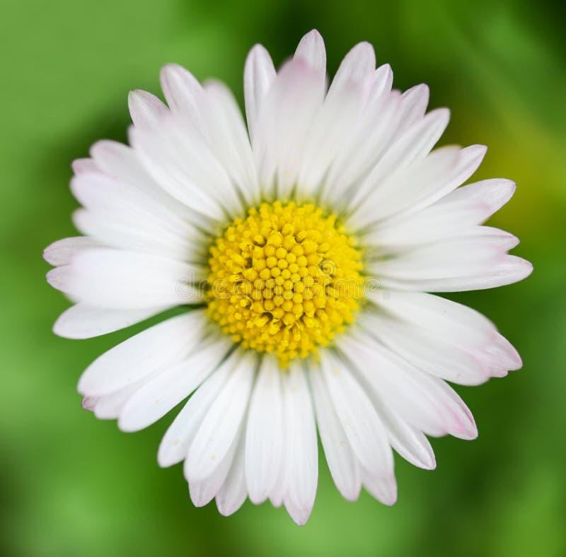 Ακραίος μακρο πυροβολισμός της Daisy λουλουδιών άνοιξη στοκ φωτογραφία με δικαίωμα ελεύθερης χρήσης