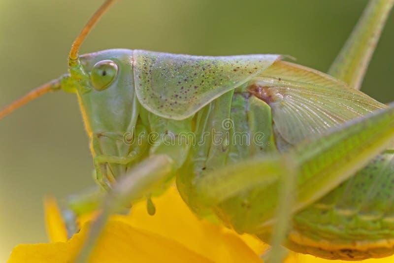 Ακραίος στενός επάνω πράσινο grasshopper στοκ φωτογραφία