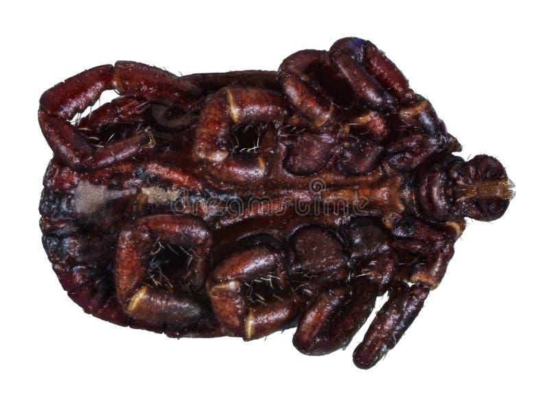 Ακραίο μακρο πορτρέτο του θηλυκού κρότωνα στοκ φωτογραφία