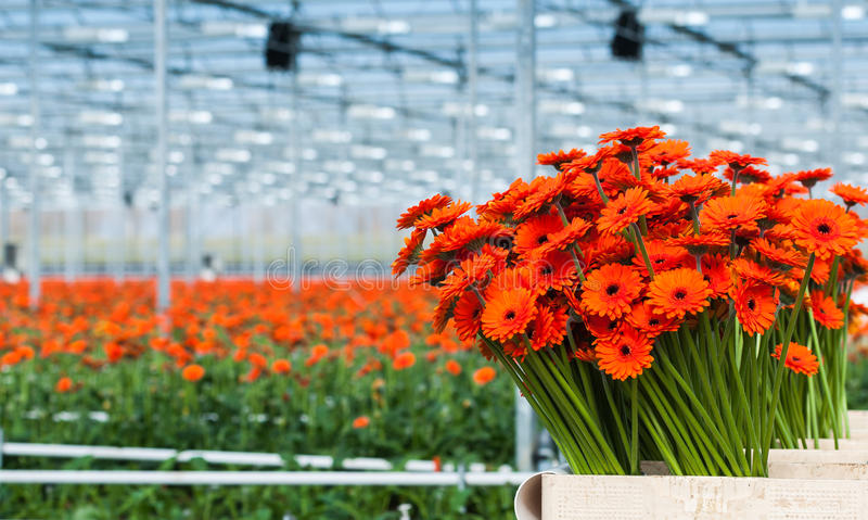 Ακριβώς συγκομισμένα πορτοκαλί λουλούδια Gerbera σε ένα ολλανδικό λουλούδι στοκ εικόνες