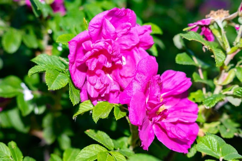 Ακριβώς όμορφα λουλούδια - λουλούδια των αρχών του καλοκαιριού - οι άγριοι ροδαλοί θάμνοι στοκ φωτογραφία