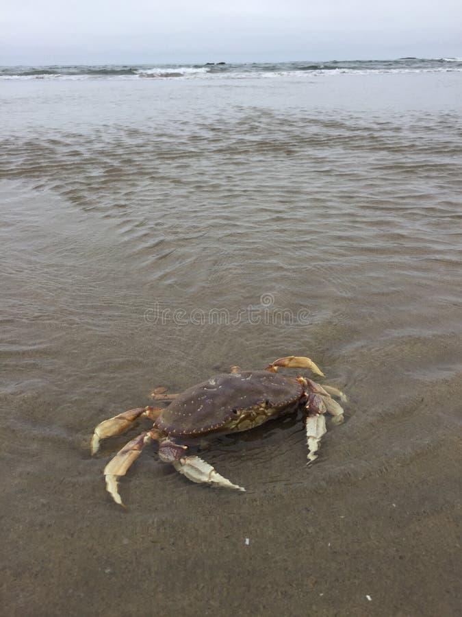 Ακτή του Όρεγκον καβουριών στην ξηρά στοκ εικόνα με δικαίωμα ελεύθερης χρήσης