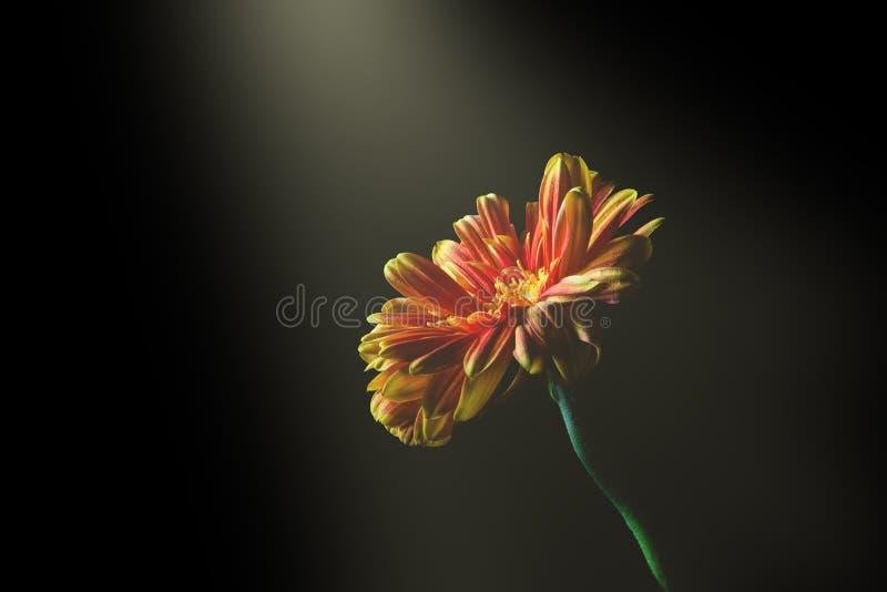 Ακτίνα του φωτός που λάμπει στην όμορφη μαργαρίτα στοκ εικόνα με δικαίωμα ελεύθερης χρήσης