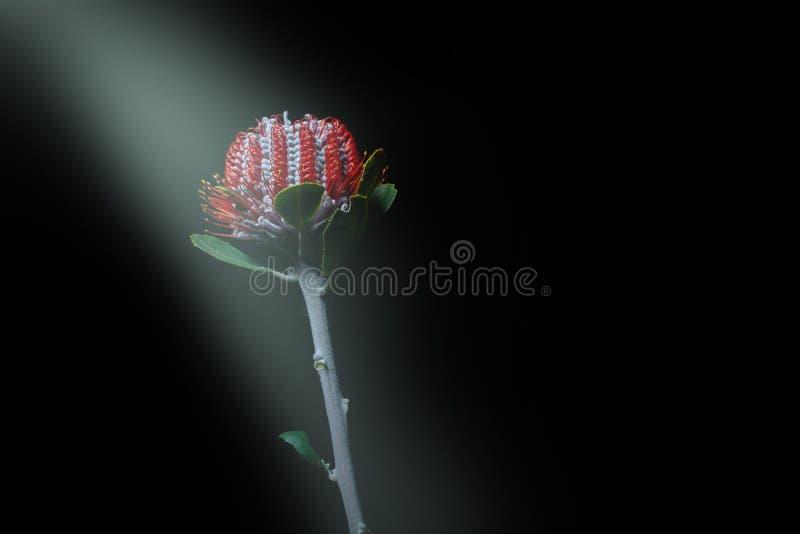 Ακτίνα του φωτός που λάμπει στο άγριο λουλούδι Banksia στοκ φωτογραφίες