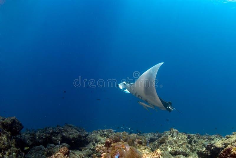 ακτίνα manta στοκ φωτογραφία με δικαίωμα ελεύθερης χρήσης