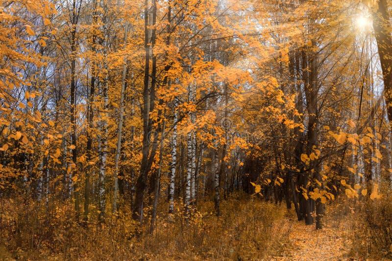 Ακτίνες ήλιων στο δάσος φθινοπώρου στοκ εικόνα