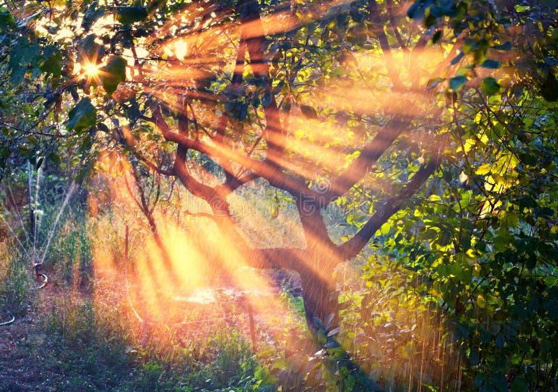 Ακτίνες του ήλιου στον οπωρώνα στοκ φωτογραφίες με δικαίωμα ελεύθερης χρήσης