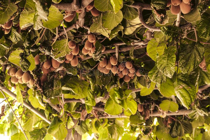 Ακτινίδια στο δέντρο στοκ φωτογραφίες με δικαίωμα ελεύθερης χρήσης