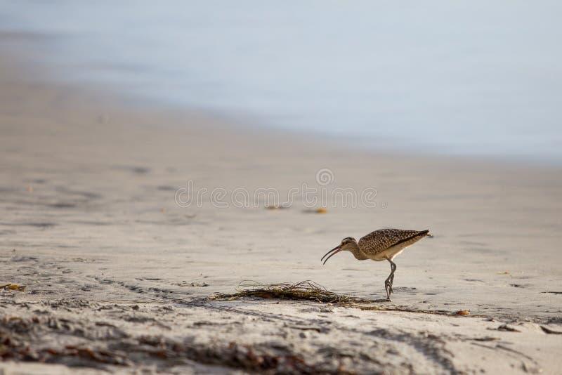 Download Ακτοτούρλι στην παραλία στοκ εικόνα. εικόνα από birdbaths - 62714803