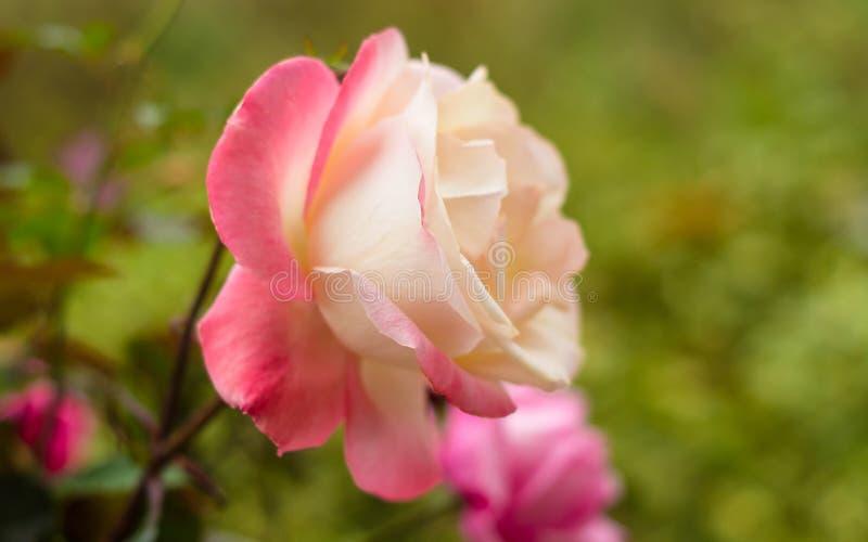 Ακόμα ζωή του υποβάθρου των όμορφων ρόδινων τριαντάφυλλων στοκ φωτογραφία με δικαίωμα ελεύθερης χρήσης