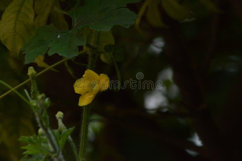 Ακόμη και bottleguard το λουλούδι μπορεί να φανεί τόσο όμορφο στοκ φωτογραφίες με δικαίωμα ελεύθερης χρήσης