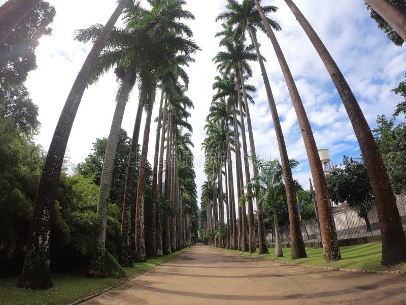Αλέα φοινίκων του βοτανικού κήπου του Ρίο ντε Τζανέιρο στοκ φωτογραφία