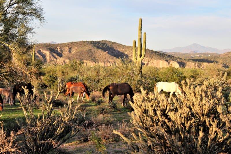 Αλατισμένα άγρια άλογο ποταμών, στο εθνικό δρυμός Tonto, Αριζόνα, Ηνωμένες Πολιτείες στοκ φωτογραφία