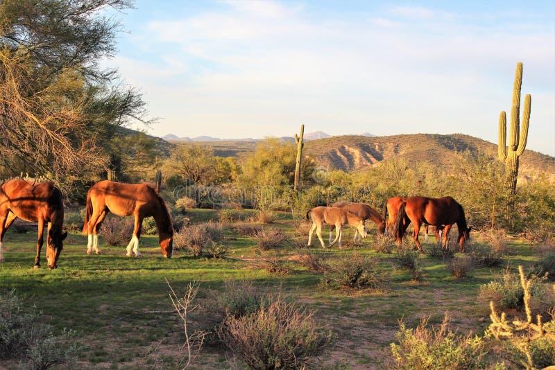 Αλατισμένα άγρια άλογο ποταμών, στο εθνικό δρυμός Tonto, Αριζόνα, Ηνωμένες Πολιτείες στοκ φωτογραφίες