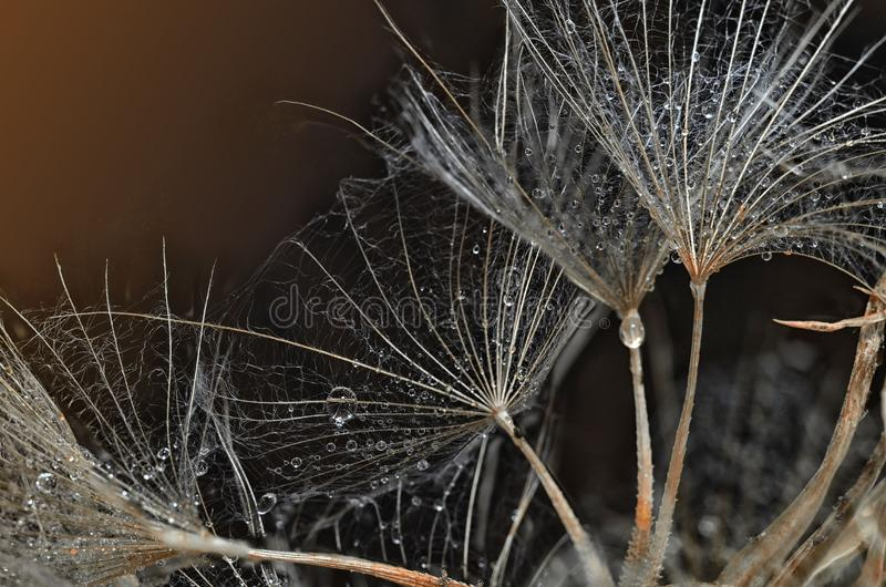 Αλεξίπτωτα πικραλίδων στις πτώσεις της δροσιάς στοκ εικόνες