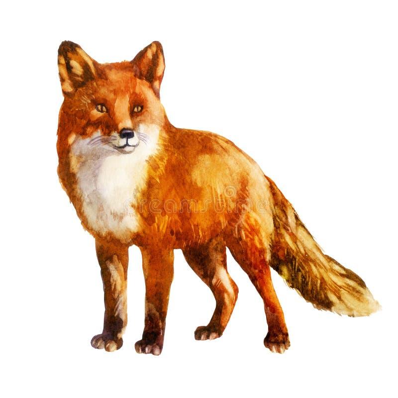 αλεπού Απεικόνιση Watercolor απομονωμένο στο λευκό υπόβαθρο ελεύθερη απεικόνιση δικαιώματος