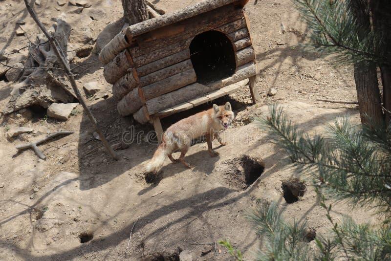 Αλεπού και ατομικό όρυγμα μάχης στοκ εικόνες