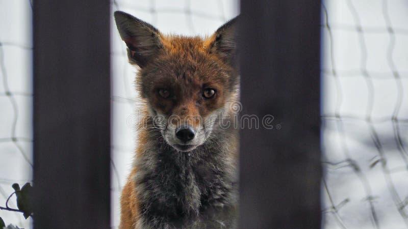 Αλεπού που εξετάζει τη κάμερα στοκ φωτογραφία