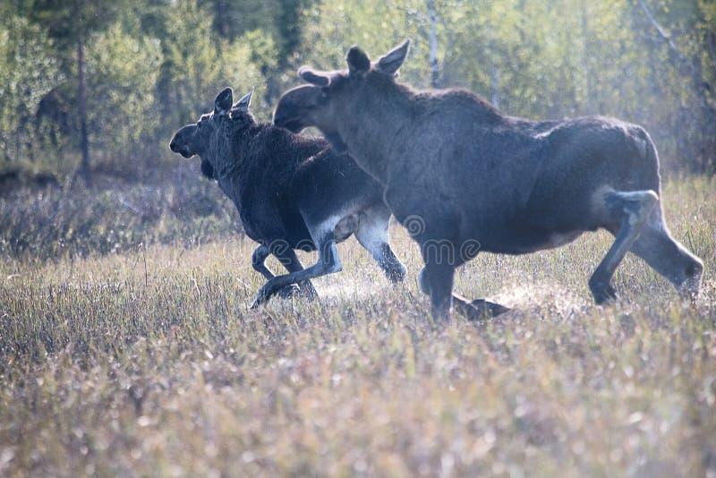 Αλεπού που τρέχει μέσα στο βάλτο στοκ εικόνα με δικαίωμα ελεύθερης χρήσης