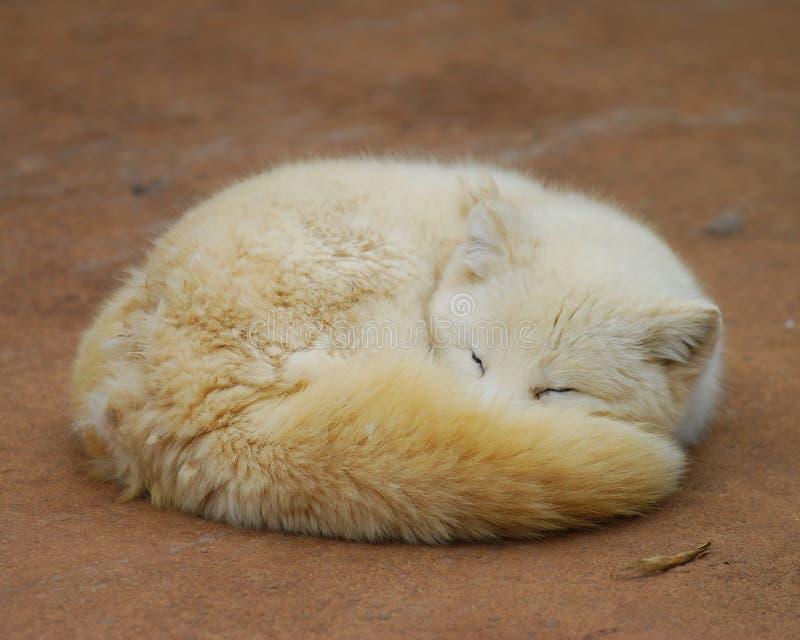 αλεπού στοκ φωτογραφία