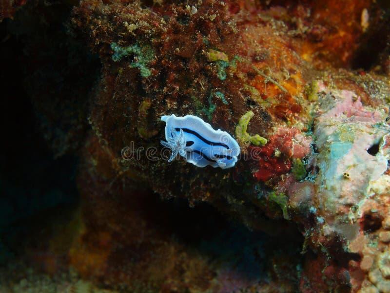 Αληθινός γυμνοσάλιαγκας θάλασσας στοκ φωτογραφία