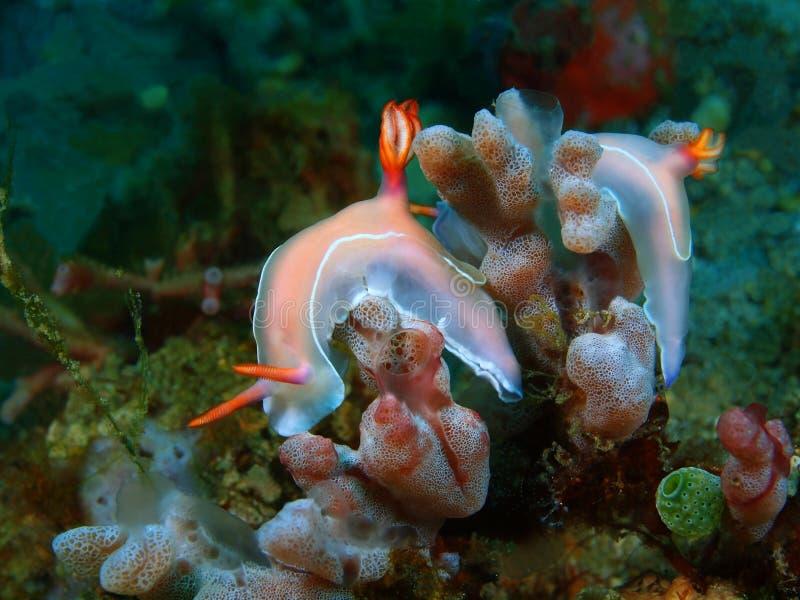 Αληθινός γυμνοσάλιαγκας θάλασσας στοκ φωτογραφία με δικαίωμα ελεύθερης χρήσης
