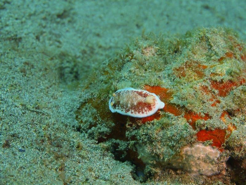 Αληθινός γυμνοσάλιαγκας θάλασσας στοκ εικόνα