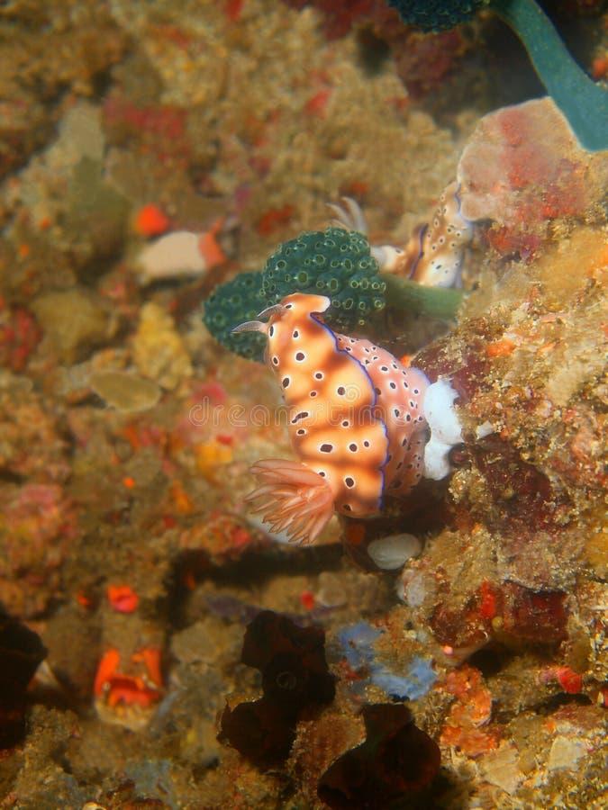 Αληθινός γυμνοσάλιαγκας θάλασσας στοκ εικόνες με δικαίωμα ελεύθερης χρήσης