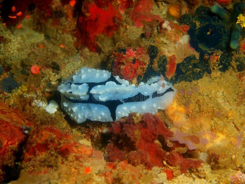 Αληθινός γυμνοσάλιαγκας θάλασσας στοκ εικόνες