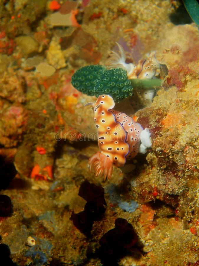 Αληθινός γυμνοσάλιαγκας θάλασσας στοκ εικόνα με δικαίωμα ελεύθερης χρήσης