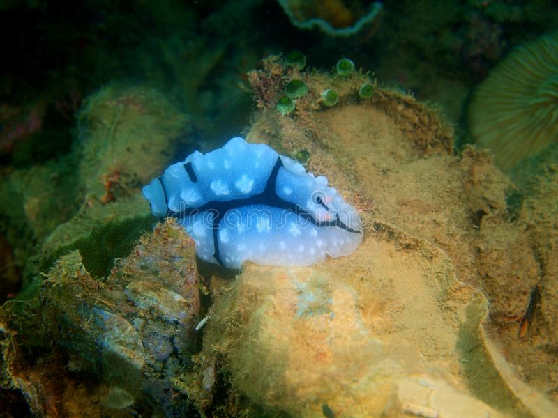 Αληθινός γυμνοσάλιαγκας θάλασσας στοκ φωτογραφίες