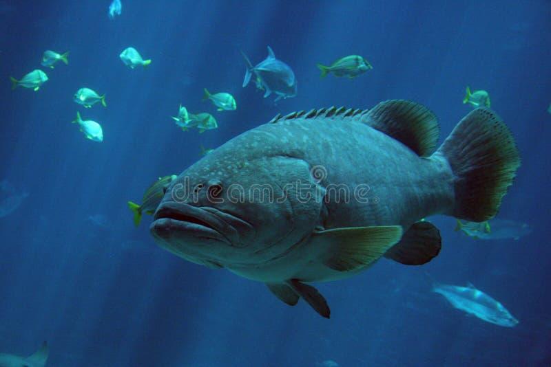 αλιεύστε γιγαντιαίο grouper στοκ εικόνες