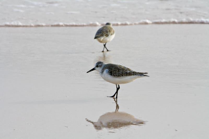 αλκυόνη πουλιών παραλιών στοκ φωτογραφία