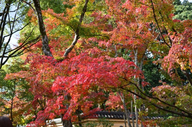 Αλλαγή Ιαπωνία χρώματος φύλλων Kinkakuji στοκ εικόνα