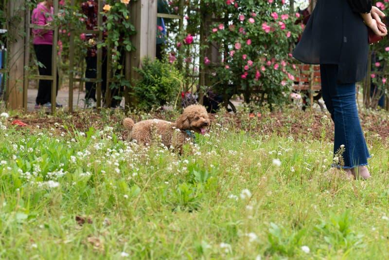 Αλληλεπίδραση με το κύριος-Poodle στοκ εικόνα με δικαίωμα ελεύθερης χρήσης