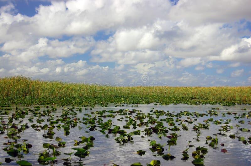 αλλιγάτορας αλεών everglades στοκ εικόνες