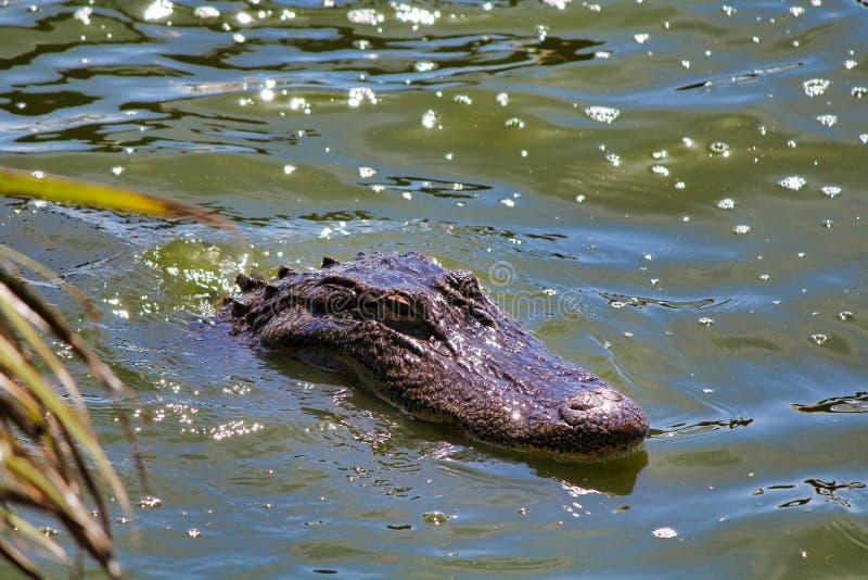 Αλλιγάτορας που κολυμπά στο σκοτεινό νερό στοκ εικόνες